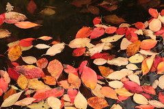 Floating Leaves (Henry Hemming) Tags: wakehurst place kew sussex arboretum autumn colours glow red var leaves bokeh black background macro flower fall lines leaf orange