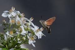 Sphinx colibri_7866 (Luc Barré) Tags: sphinx colibri sphinxcolibri insecte papillon fleur france losse estampon extérieur butinage pollen