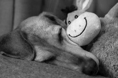 keep smiling (Blende1.8) Tags: smile smiling goodmood happy happiness glück glücklich vertrauen confidence friendship freundschaft dog hund segugio segugioitaliano lilly carstenheyer love liebe mono monochrome monochrom schwarzweiss animal animals pet pets stofftier plushy sony nex ilce6300 85mm alpha a6300