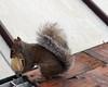 Exceedingly good tart!!! (Karolina Jantas) Tags: cherry bakewell tart exceedingly squirrel garden tame