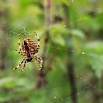 Garden Spider thumbnail