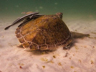 Green Sea Turtle: Right Full Flipper