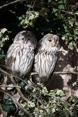 Ural owl (Cloudtail the Snow Leopard) Tags: kautz tier animal vogel bird eule owl habichtskauz uralkauz strix uralensis ural zoo stadtgarten karlsruhe