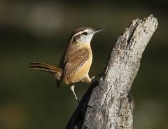 Carolina Wren (AllHarts) Tags: carolinawren backyardbirds memphistn naturesspirit thesunshinegroup thenewperfectioninpictures sunrays5 coth5 naturescarousel ngc npc