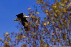 Third Eagle_2017 (Paul's Captures (paul-mashburn.artistwebsites.com)) Tags: eagle bird birdsofafeather birdsofprey