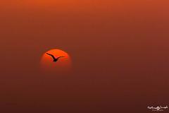 Sunset at Dhanauri (mathewindelhi) Tags: bird sunset evening farewell nature wildlife wild beautiful india delhi