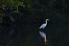 In the Spotlight (NaturalLight) Tags: great egret spotlight chisholmcreekpark wichita kansas