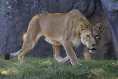on the prowl (ucumari photography) Tags: ucumariphotography lion lioness leoleo mekita animal mammal nc north carolina zoo october 2017 dsc9368 specanimal specanimalphotooftheday specanimaliconofthemonth