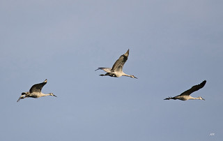 Grues du Canada / Sandhill Cranes