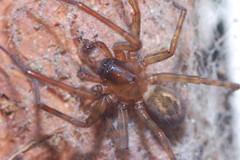 Arachtober 27 (Procrustes2007) Tags: spider amaurobius amaurobiussimilis arachnid arachtober laceweb macro nikond50 nikkor50mmais tamron2xteleconverter vivitarextensionrings68mmtotal flash greatcornard suffolk uk britain england