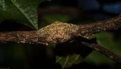 Dolophones conifera +/- (dustaway) Tags: arthropoda arachnida araneae araneomorphae araneidae araneinae dolophones wraparoundspider rprr rotarypark rainforest lismore nsw au australianspiders rotary park reserve rotaryparkrainforestreserve