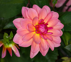 Late Dahlia Bloom (tresed47) Tags: 2017 201710oct 20171005longwoodmacro canon7d chestercounty content dahlia fall flowers folder longwoodgardens macro october pennsylvania peterscamera petersphotos places ringflash season takenby technical us