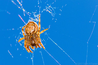 Arachtober 30 - Cross Spider In A Clear Blue Sky