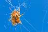 Arachtober 30 - Cross Spider In A Clear Blue Sky (raypainter) Tags: bouldercolorado waldenponds scotttucker teleconverter14x canon afternoon arachnid arachtober autumn bugs colorado ef100mm eos70d event fall insects micro nature outdoors predator raypainter spider spiders weaver web wildlife araneusdiadematus crossspider