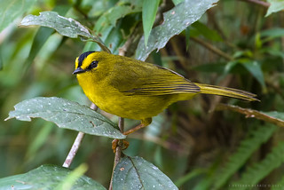 Myiothlypis nigrocristata / Black-crested Warbler / Reinita Crestinegra / Arañero Cabecinegro