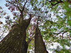 Sapucaia - Lecythis pisonis (Zélia Doneux Rebske) Tags: tree trunk lecythispisonis lecythis lecythidaceae