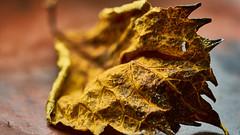 Autumn leaf (flowerikka) Tags: autumn bokeh brown dry flora impressionen leaf macro nature nikon season yellow
