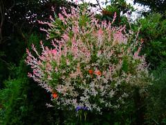 rosa Bäumchen (Sophia-Fatima) Tags: mygarden meingarten naturgarten gardening hochstammbaum