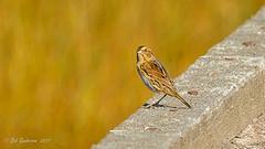 Nelson's Sparrow (Bob Gunderson) Tags: alamedacounty ammodramusnelsoni arrowheadmarsh birds california eastbay nelsonssparrow northerncalifornia sparrows