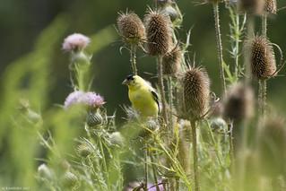 Yellow Finch 2017-3