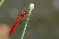 Crocothemis erythraea (M a r i S à (very busy)) Tags: odonata scarletdragonfly dragonfly libellula crocothemiserythraea frecciarossa ♂ anisoptera