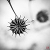 Star of the Show (Mitymous) Tags: bw fall2017 gray seedpods walk wisconsin