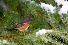 Spotted Towhee (Mick Thompson1) Tags: