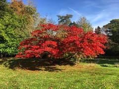 Japanese Maple (Marc Sayce) Tags: japanese maple acer palmatum trees colours fall leaves lodge autumn october 2017 alice holt forest hampshire wrecclesham farnham surrey south downs national park
