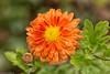Orange Season (++sepp++) Tags: garten natur graben bayern deutschland de garden blume flower blüte blossom regentropfen raindrops orange gartenchrysantheme herbstchrysantheme chrysanthemum