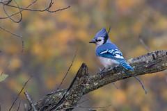 4221 (Eric Wengert Photography) Tags: bluejay cyanocitta cyanocittacristata bird passerine songbird