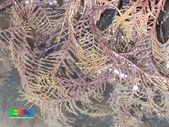 Fern hydroid (wildsingapore) Tags: changi carpark1 cnidaria hydrozoa island singapore marine intertidal shore seashore marinelife nature wildlife underwater wildsingapore