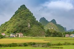 _Y2U0583.0917.TL206.Chí Viễn.Trùng Khánh.Cao Bằng (hoanglongphoto) Tags: asia asian vietnam northvietnam northeastvietnam landscape scenery vietnamlandscape vietnamscenery vietnamscene caobanglandscape ricefields fields harvest harvestingseason canon đôngbắc caobằng trùngkhánh chíviễn tl206 phongcảnh phongcảnhcaobằng đồnglúa lúachín mùagặt caobằngmùalúachín caobằngmùagặt canoneos1dx canonef2470mmf28lisiusmlens sky tophill house homes nhà nhữngngôinhà flanksmountain sườnnúi