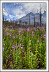 Fireweed (Darian Froese) Tags: fireweed mountains banffnationalpark burn forest forestfire hdr