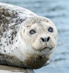 20170925-Seals CapSante-1210 (Ding Zhou) Tags: anacortes capsantemarina usa washington boating seal