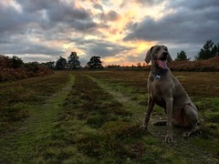 Weimaraner At Sunset (Marc Sayce) Tags: weimaraner clouds sunset woolmer ranges forest conford longmoor south downs national park hampshire summer autumn october 2017