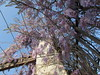 Flor de la pluma (patriciamura) Tags: flor de pluma enredadera trepadora flores lilas