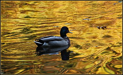 Goldener Oktober ... (Kindergartenkinder) Tags: wasservogel ente grugapark essen gruga tier