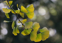 Turning Into Gold (AnyMotion) Tags: ginkgo ginko ginkgobiloba maidenhairtree leaf leaves blatt blätter autumncolours herbstfärbung tree baum bokeh nature natur cemetery 2016 frankfurt anymotion maincemetery hauptfriedhof hessen germany 7d2 canoneos7dmarkii colours colors farben yellow gelb green grün autumn fall herbst automne otoño ngc npc