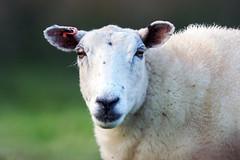 Looking at Ewe (Howie Mudge LRPS BPE1*) Tags: animal sheep ewe star staring looking head headshot candid portrait outside outdoors test testing telephoto bokeh bokehlicious bokehful sigma sigma150600mmc commlite commliteupdateafadapter olympus olympuspenf microfourthirds m43 mft compactsystemcamera mirrorlesscamera soc straightoutofcamera jpg jpeg