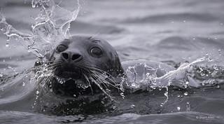 Grey Seal_MG_8151
