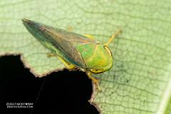 Spittlebug (Cercopidae) - DSC_1145 (nickybay) Tags: singapore macro riflerangeroad riflerangelink froghopper spittlebug cercopidae