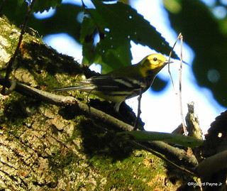 Black-throated Green Warbler_N5534