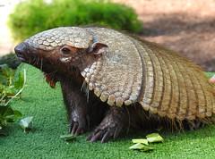 Tatu-peludo (Chaetophractus villosus) (Marina CRibeiro) Tags: portugal lisboa lisbon zoo tatupeludo chaetophractus armadillo