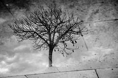 Lost in the reflection (dono heneman) Tags: lost perdu reflection reflet refletaquatique miroiraquatique noiretblanc nb blackwhite nuage cloud ciel sky végétal vegetal végétation arbre tree feuille leaf sol ground cambrils catalogne espagne pentax pentaxart pentaxk3