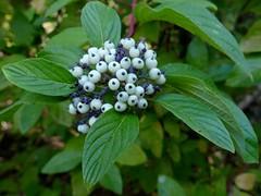 Cornus sericea ssp. sericea AMERICAN DOGWOOD (openspacer) Tags: cornice cornus dogwood fruit tree