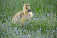 Delightful encounters of the cuteness kind (Captions by Nica... (Fieger Photography)) Tags: goslings gosling geese bird babybird nature outdoor adorable cuteness cute fuzzy animal wildlife quebec canada