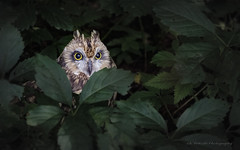 Hibou des marais / Short-eared Owl / Asio flammeus (FRITSCHI PHOTOGRAPHY) Tags: shortearedowl hiboudesmarais asioflammeus uqrop chouetteàvoir