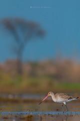 Beauty of the Nature ( Black tailed Godwit ) (Irtiza Bukhari) Tags: portrait colors inpond one birdsofpakistan birdofpakistan wildlifeofpakistan wildbird punjab wwfpakistan wwf irtizabukhari blacktailedgodwit long beak love birdinpond pondbird bird compose nature beauty bukhari irtiza