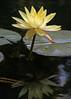 IMG_0242edited.psd (sherri_lynn) Tags: elements waterlilies waterlily japanesegarden gibbsgardens gardens flowers georgiaflowers nature lilypads reflection reflections lilypond ponds