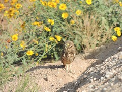 Incoming snack! (jwrieden) Tags: owl burrowingowl arizona animal nature wildlife birds butterfly paintedlady flowers flower desert bird